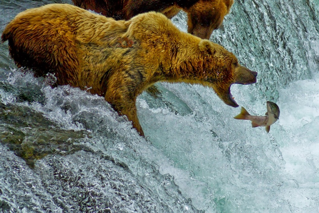 brown-bear-bears-alaska-brooks-falls-lodge-north-america-wildlife-carnivore-predator-salmon-3-catching-fishing-fish